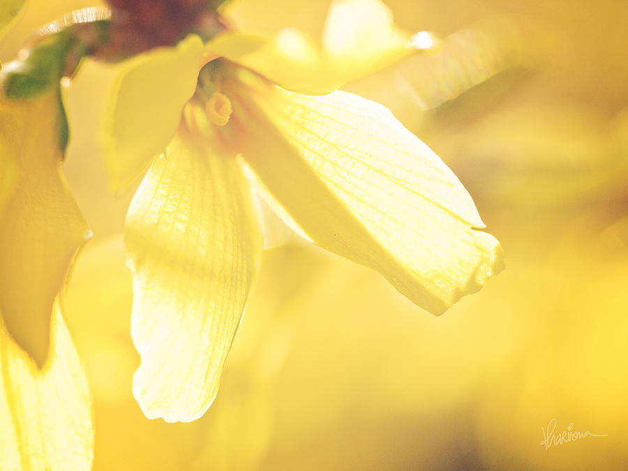 Macro Photography Photograph - Mellow Yellow by Kharisma Sommers