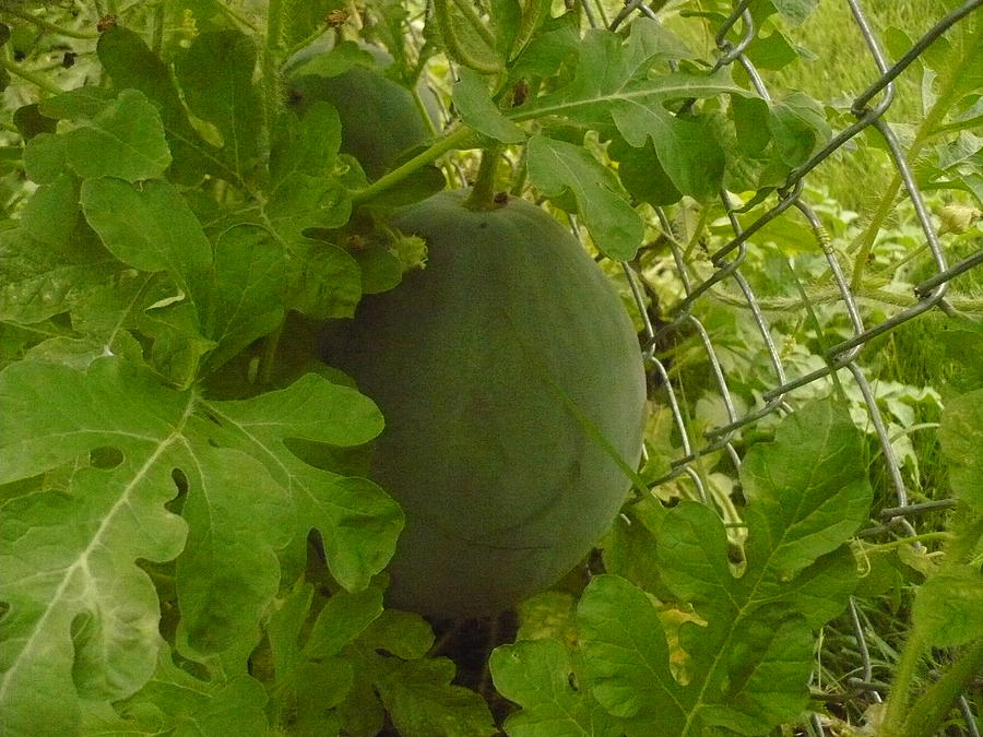 Watermelon Photograph - Melon by Stephen Davis