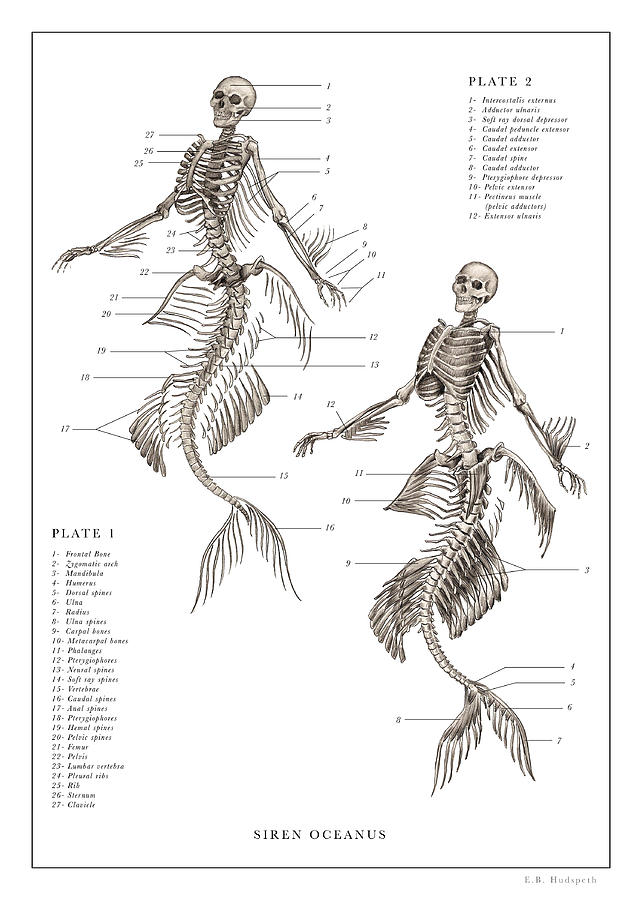 Dr. Black. The Resurrectionist Drawing - Mermaid Print 1, 2... by EB Hudspeth