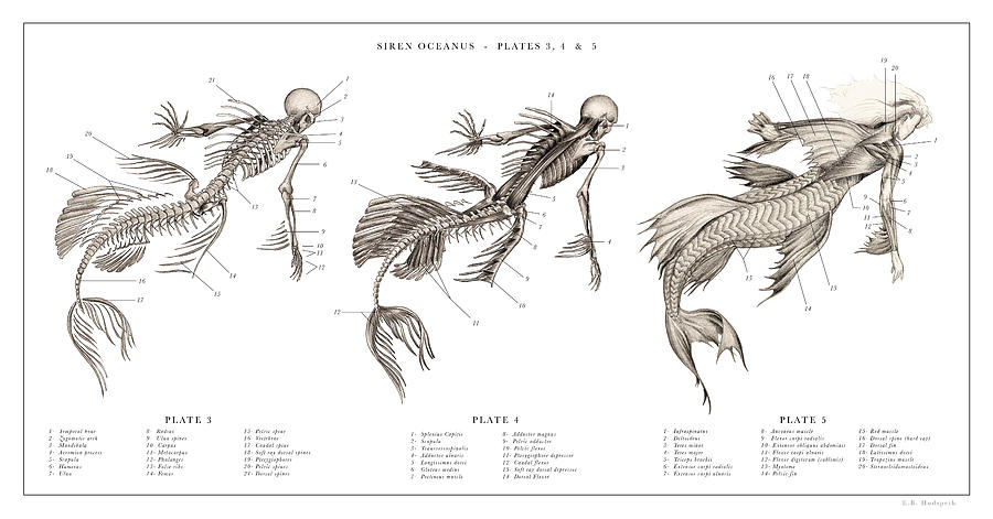 Dr. Black. The Resurrectionist Drawing - Mermaid Print 3, 4, 5,,, by EB Hudspeth