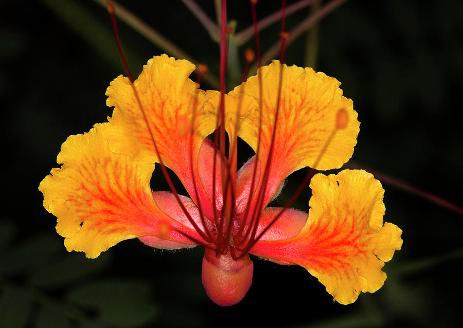 Macro Photograph - Mexican Bird Of Paradise by Jim Painter