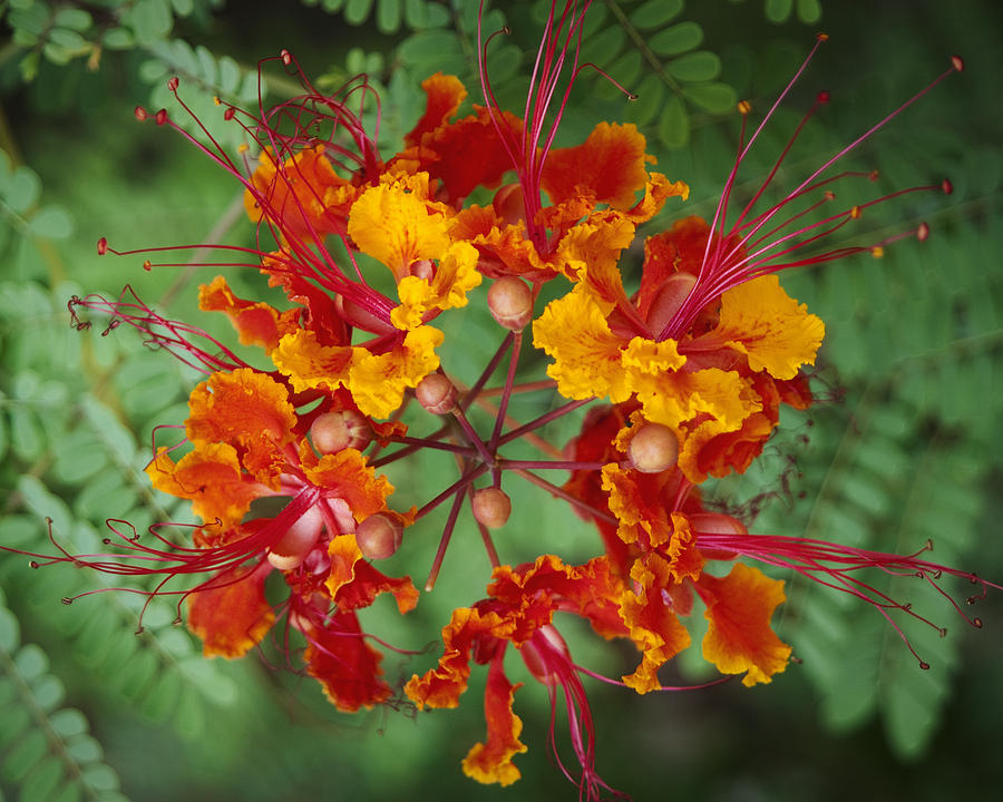 Mexican Bird Of Paradise Photograph By Kelley King
