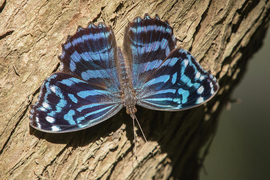 Mexican Bluewing, Myscelia ethusa by Jim and Lynne Weber