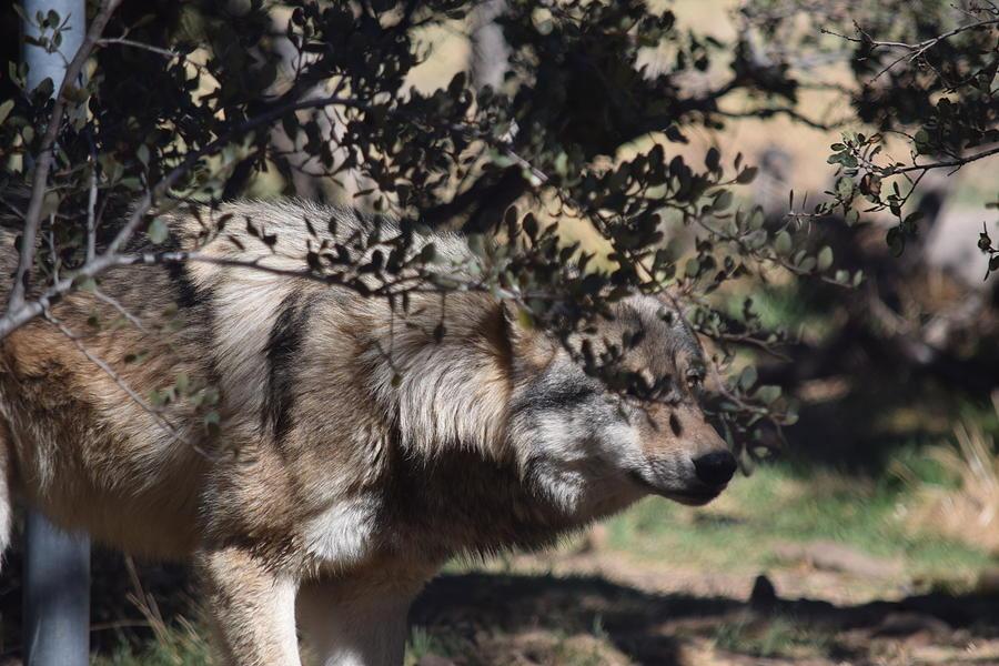 Mexican Gray Photograph