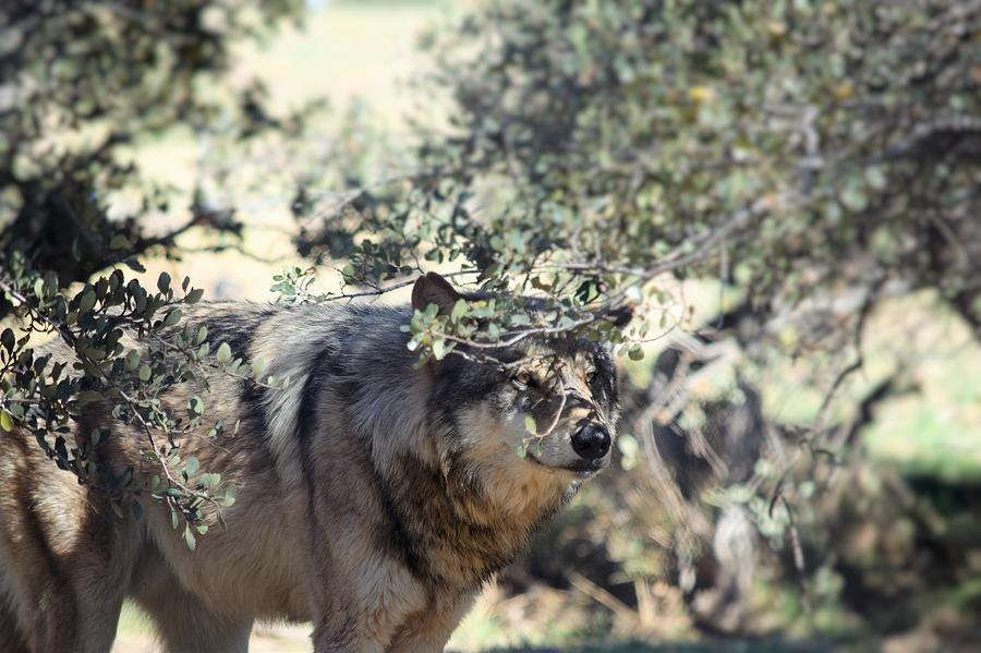 Mexican Gray Wolf Photograph