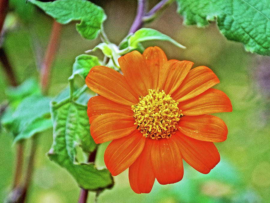 Mexican Sunflower Along White Pine Trail In Kent County, Michigan by Ruth  Hager
