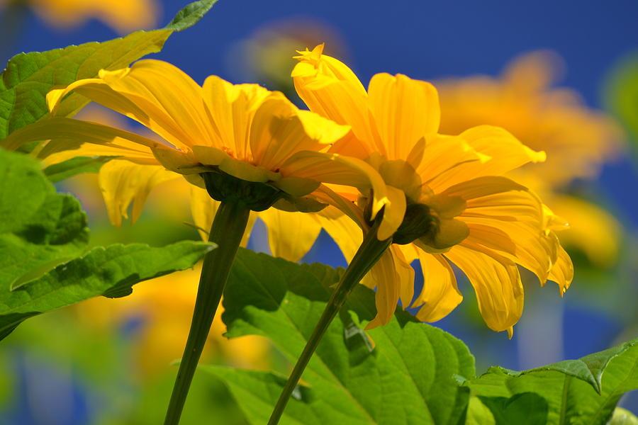 Sunflower Photograph - Mexican Sunflower Tree by Melanie Moraga