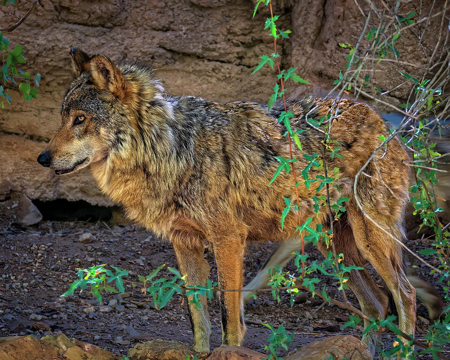 Mexican Wolf H1841 Photograph