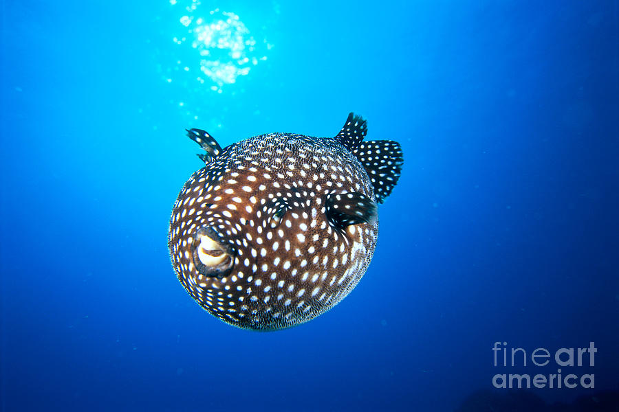 Amaze Photograph - Mexico Guineafowl Puffer by Dave Fleetham - Printscapes