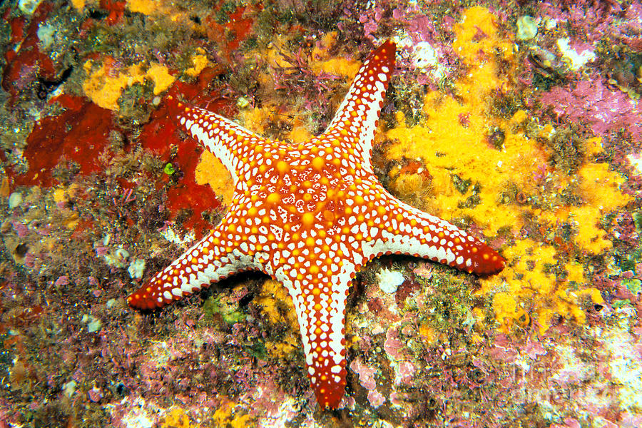 Body Photograph - Mexico, Gulf Sea Star by Dave Fleetham - Printscapes