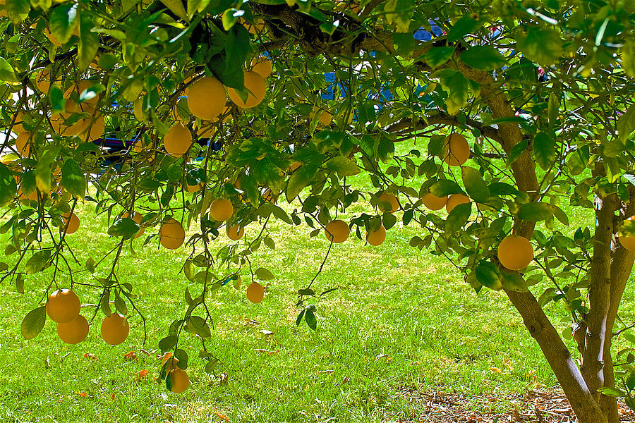 Meyer Lemon Tree At Pilgrim Place In Claremont California