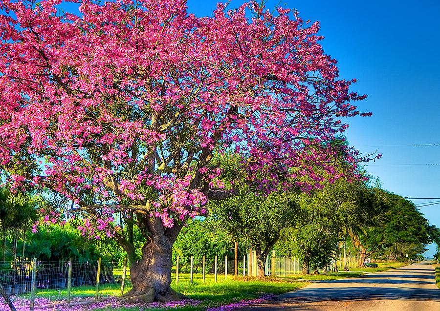 Silk Floss Tree Photograph - Miamis Fall Colors by William Wetmore