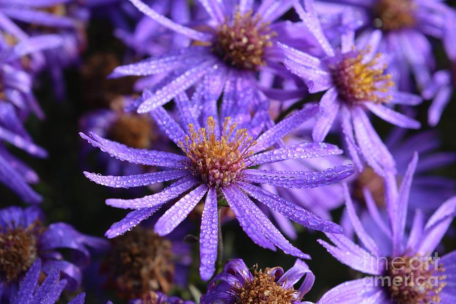Flower Photograph - Michaelmas Daisy by Josie Elias