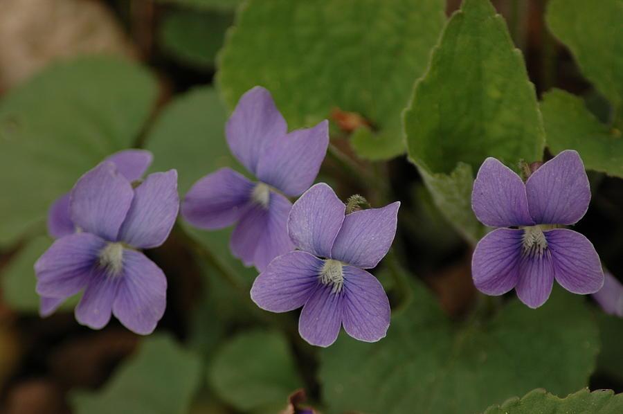 Michigan Purple Spring Flowers Photograph By Leeann Mclanegoetz