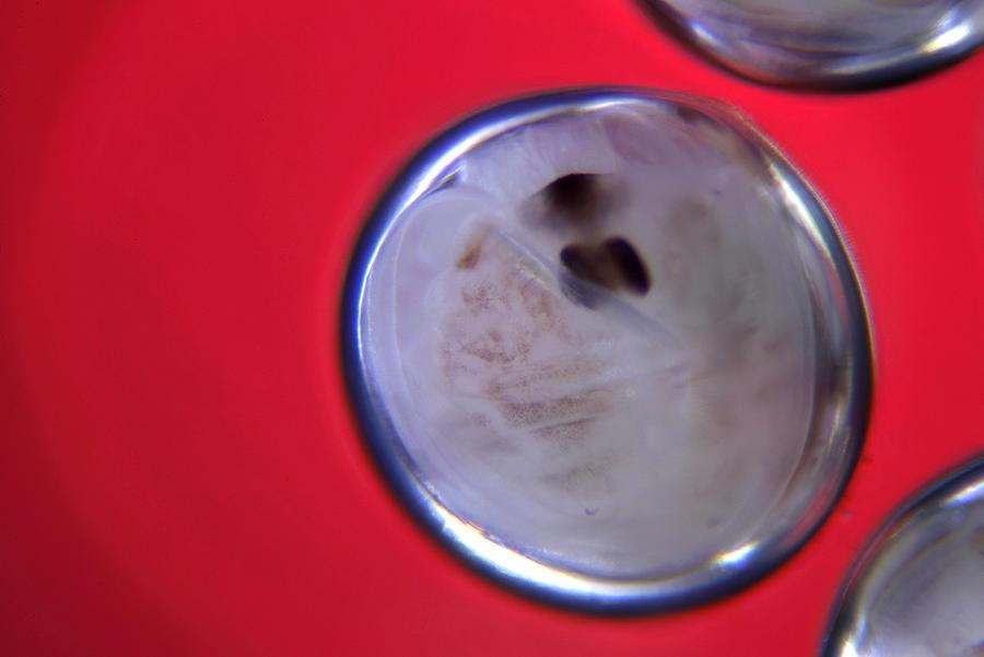 Egg Photograph - Microscopic Eggs 002 by Marcus Kett