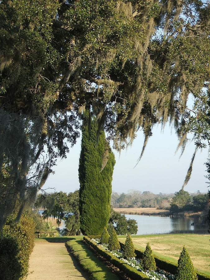 Middleton Place Photograph   Middleton Gardens The Ashley River By Clyde  Shokes Jr