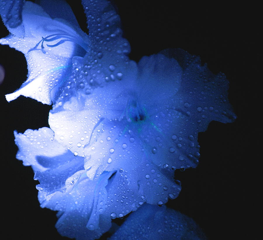 Flower Photograph - Midnite Aroma Blue by Debbie May