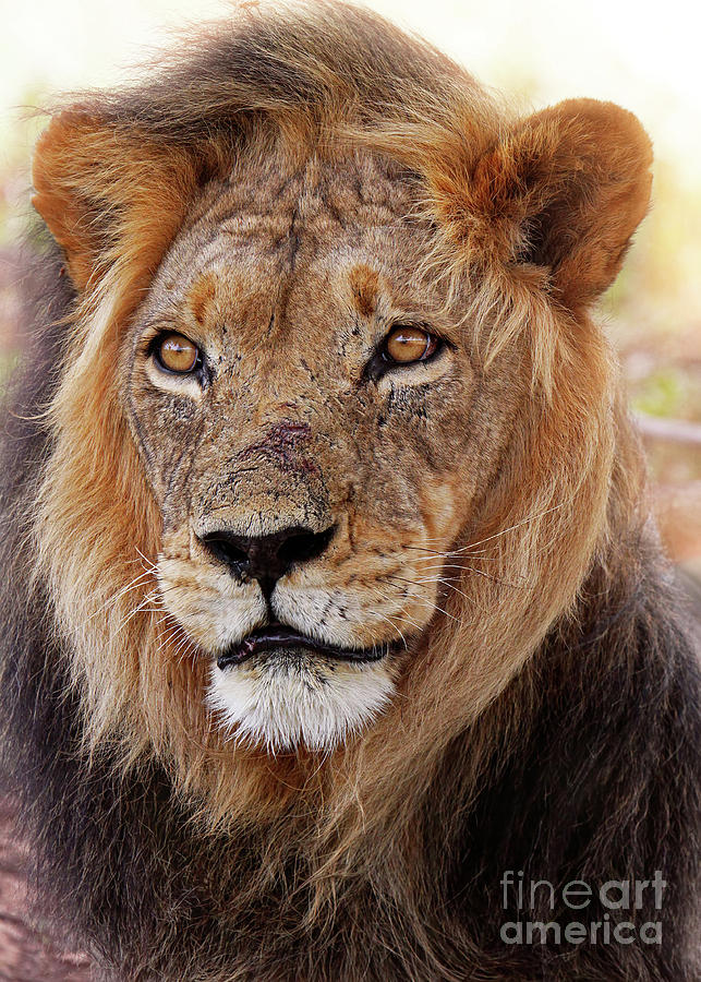Lion Photograph - Mighty Lion In South Africa by Wibke W