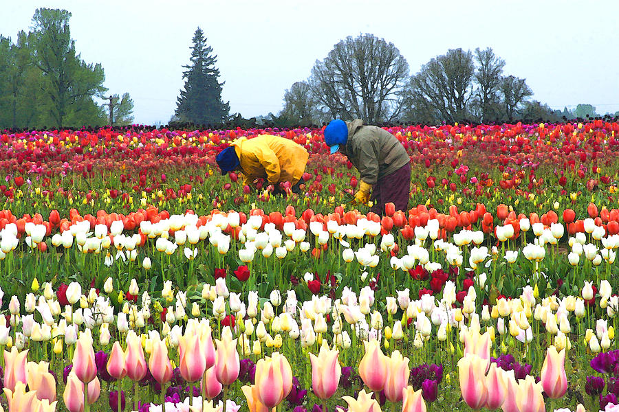 Tulips Photograph - Migrant Workers In The Tulip Fields by Margaret Hood