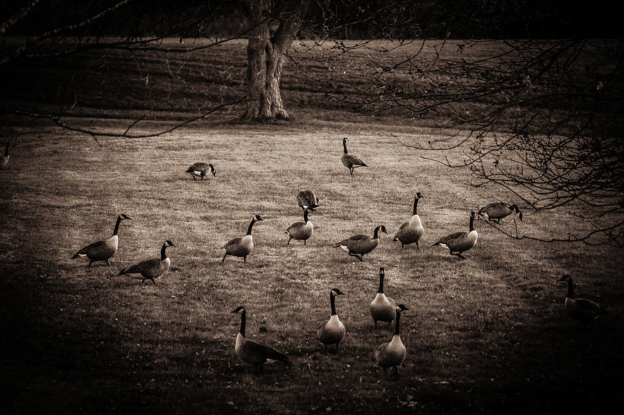 Migrating Geese Photograph