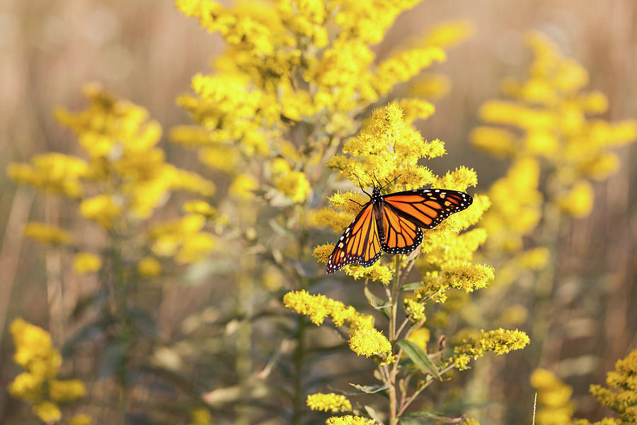 Appalachian Mountains Photograph - Migrating Monarch Butterfly Moses Cone Memorial Park North Carolina by Mark VanDyke