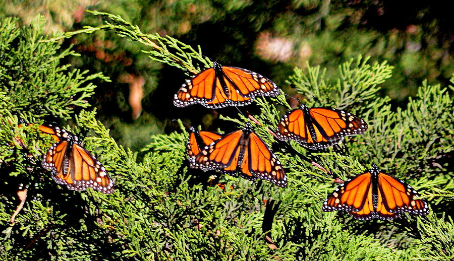Migrating Monarchs by AJ Schibig