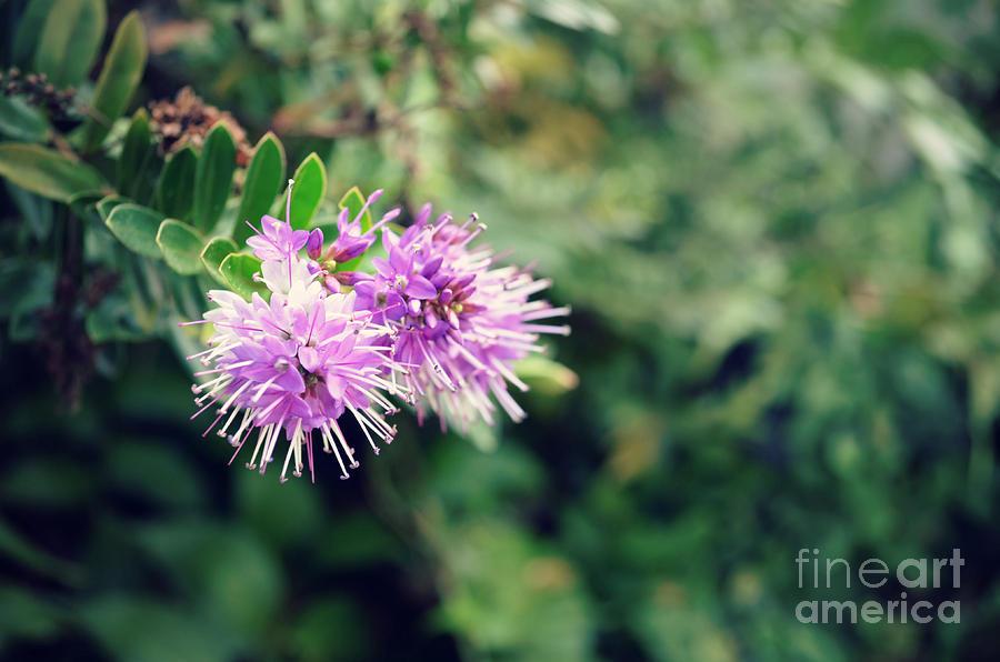 Flower Photograph - Milk Thistle by Kiana Carr