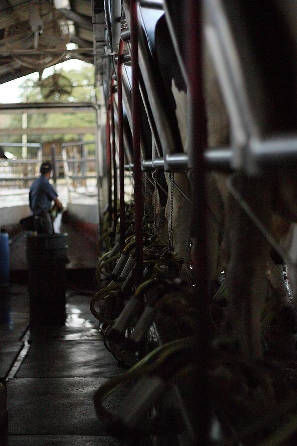 Cows Photograph - Milkn The Job by Jamie Smith