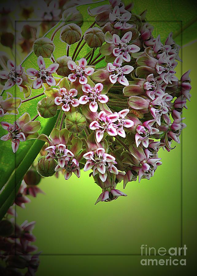 Flower Photograph - Milkweed In Bloom by Deborah Johnson