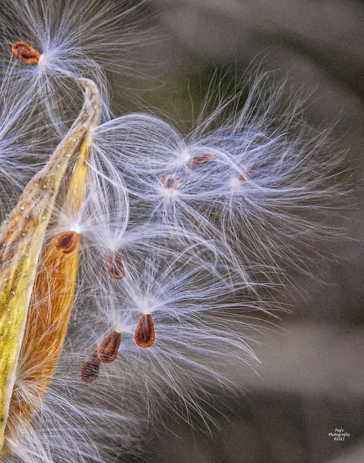 Nature Photograph - Milkweed Pod And Seeds  by Peg Runyan