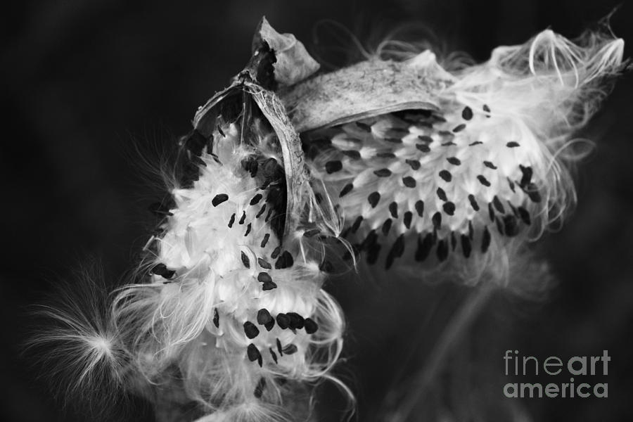 Milkweed Pods by Jackie Farnsworth