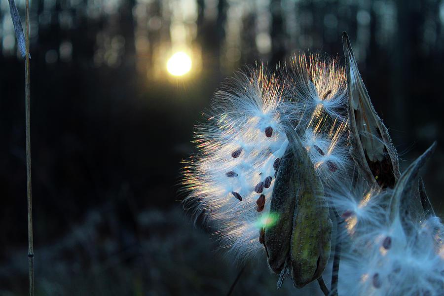 Milkweed Photograph - Milkweed Seeds Emerging In The Setting Fall Sun by Codee Pyke