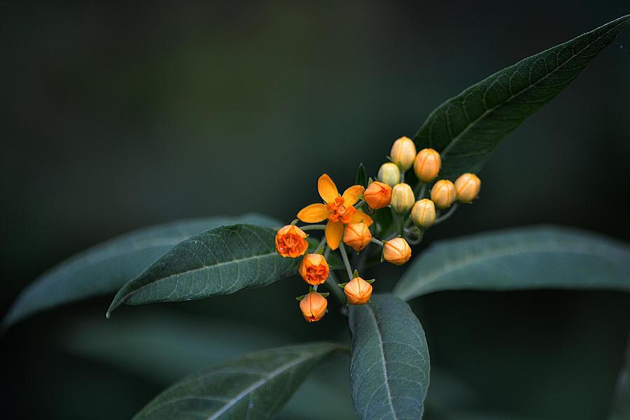 Milkweed Plant Photograph - Milkweed by Steven Linebaugh