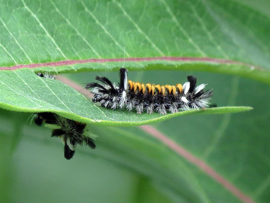 Milkweed Tussock Moth Caterpillar Photograph - Milkweed Tussock Moth Caterpillar by Cynthia Frames