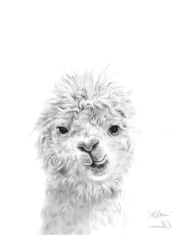Llamas Drawing - Milton by K Llamas