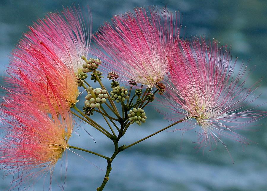 Mimosa Photograph - Mimosa by Farol Tomson