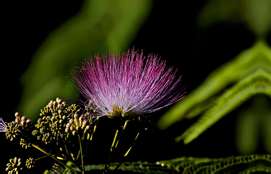 Landscape Photograph - Mimosa Tree Bloom by Michael Whitaker