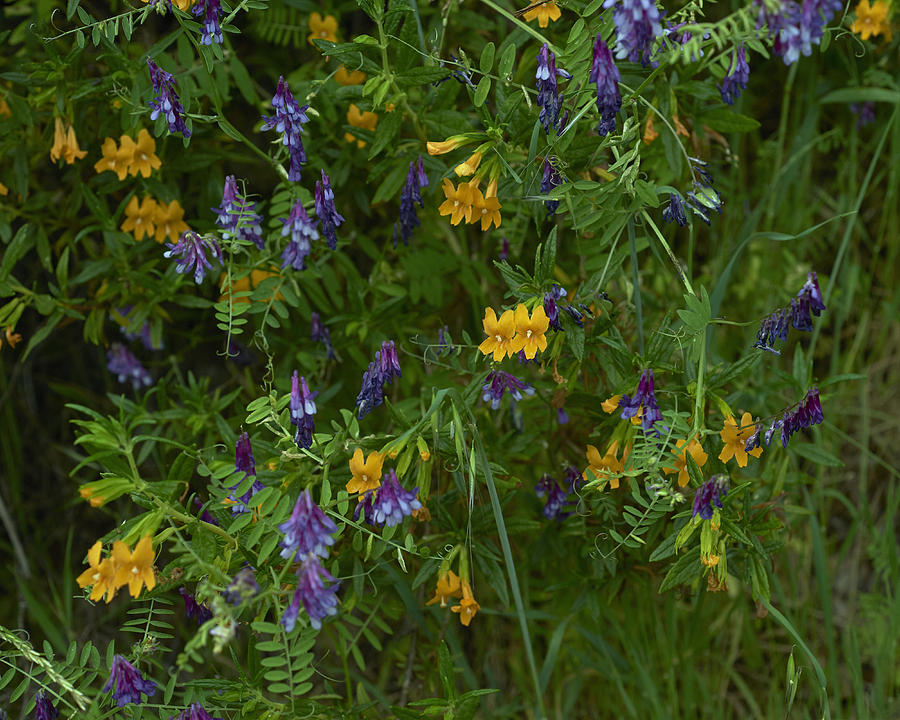 Mimulus And Vetch Photograph by Doug Herr
