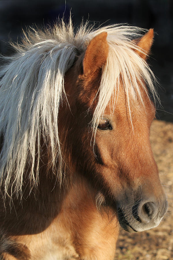 Miniature Horse Photograph - Mini Horse Portrait Two by Laurie With
