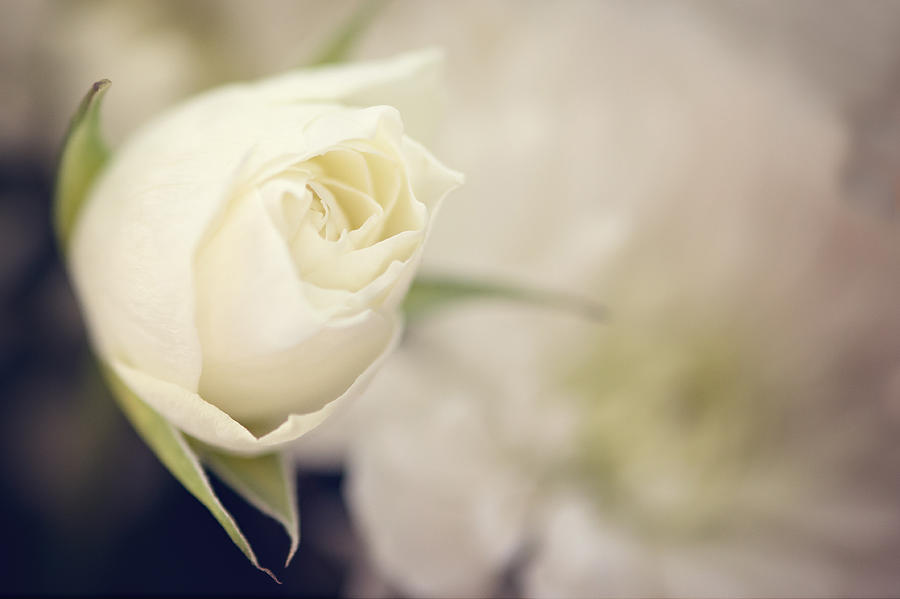 Mini Rose 1 Photograph