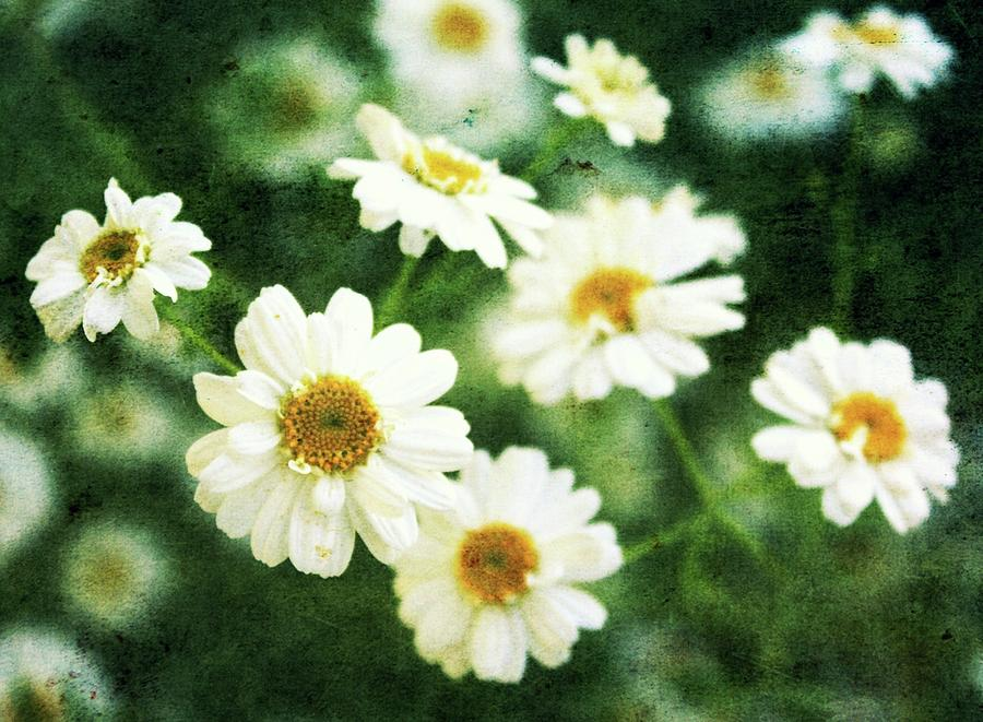 Spring Flowers Photograph - Mini Spring Daisys by Cathie Tyler