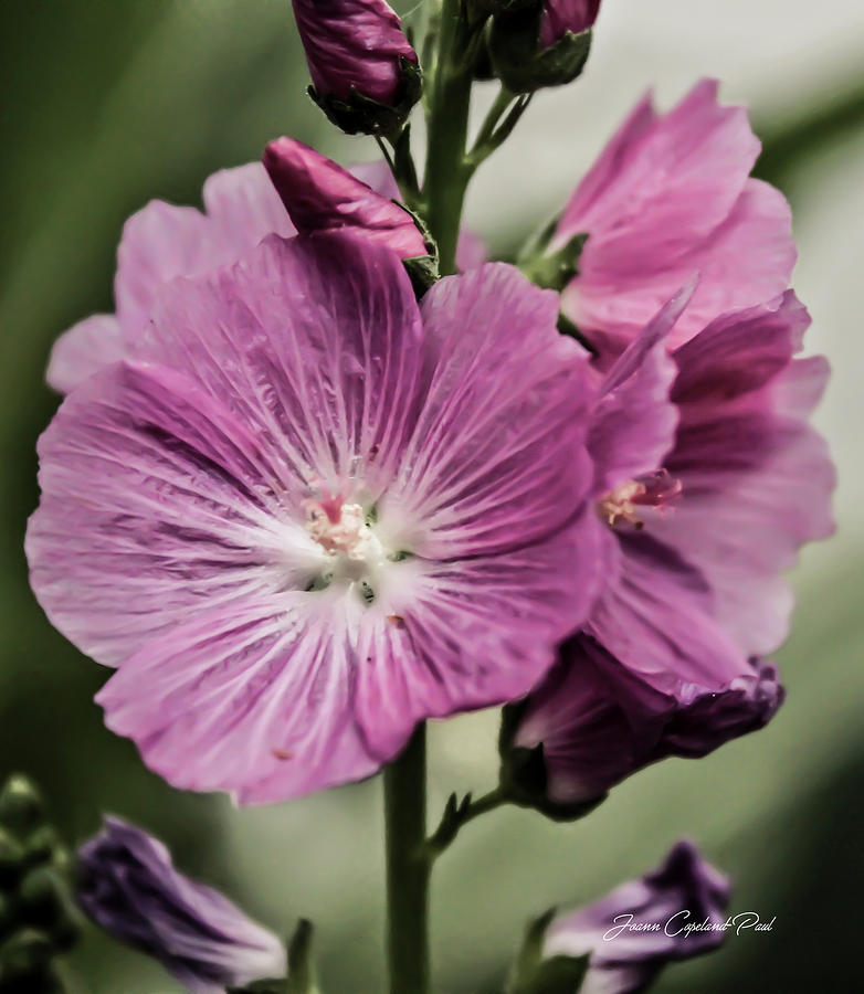 Miniature Pink Hollyhock Flowers by Joann Copeland-Paul