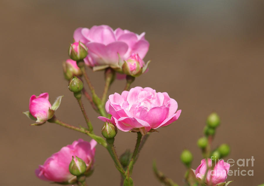 Miniature Roses Photograph - Miniature Pink Roses by Sharon Talson