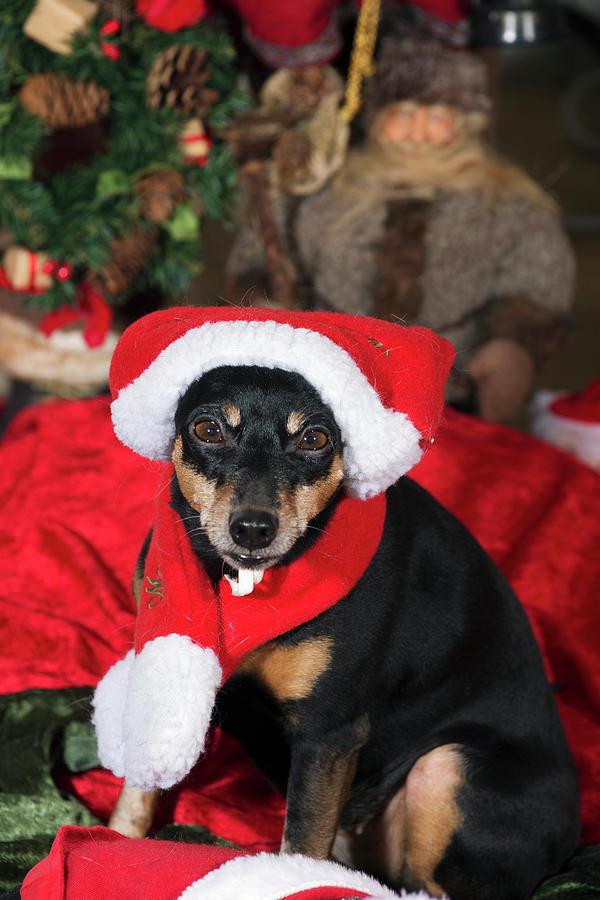 Miniature Pinscher Wishing A Merry Christmas Photograph