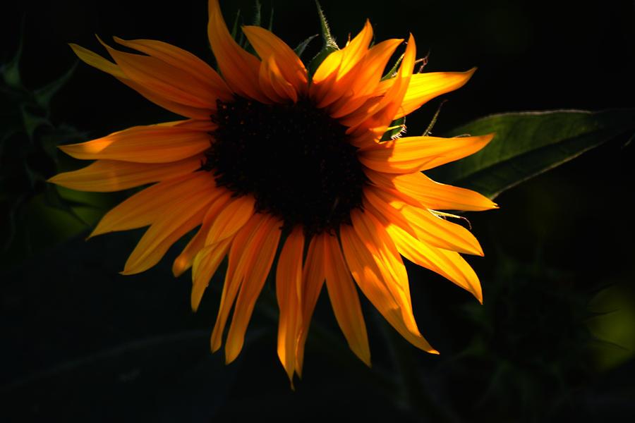 Sunflower Photograph - Miniature Sunflower by Martin Morehead