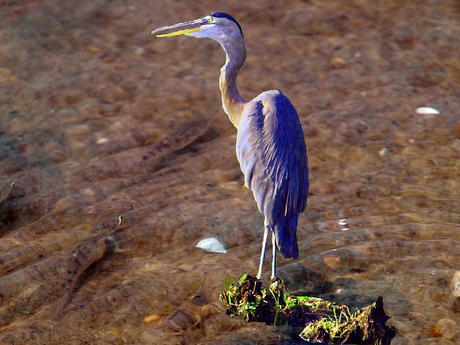 Blue Heron Painting - Minnow Hunting by Kim