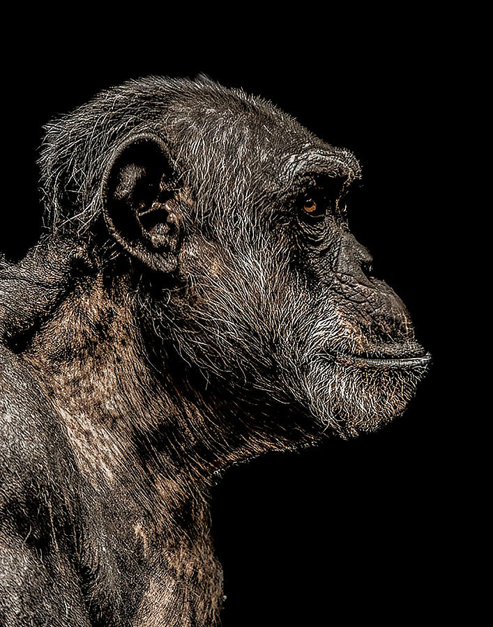 Chimp Photograph - Mischievous by Paul Neville