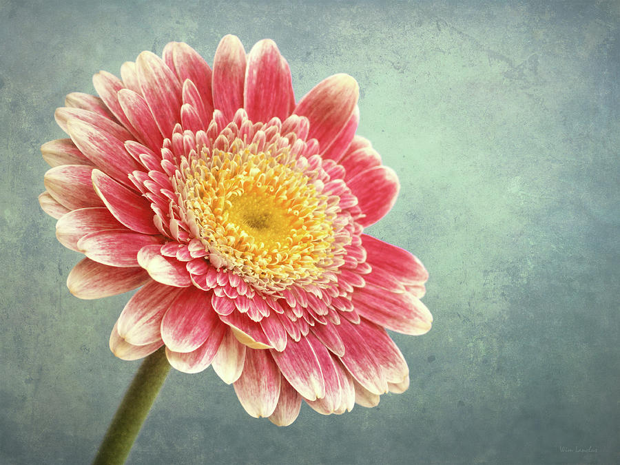 Pink Photograph - Miss Daisy by Wim Lanclus