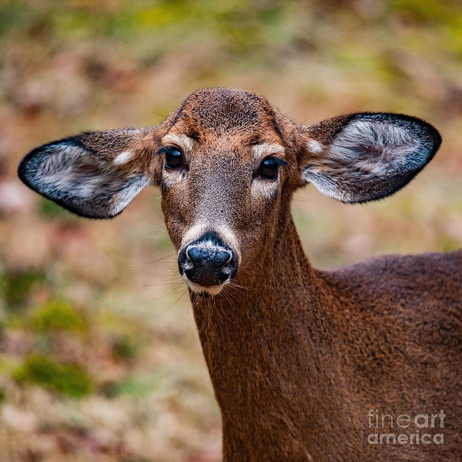 Miss Deer 1 by Buddy Morrison