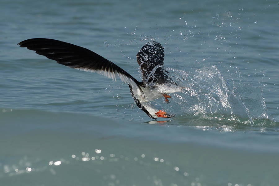 Black Skimmer Photograph - Missed Opportunity by Jim Gray